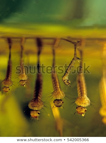 Stock photo: Mosquito pupae