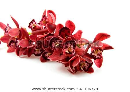 Flower beautiful red orchid - phalaenopsis isolated over white Stock photo © tetkoren