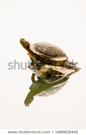 Red-eared Turtle in Central Park, New York Stock photo © marco_rubino