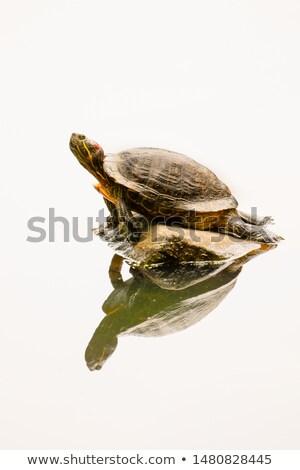 Kaplumbağa Central Park New York kuzey göl aile Stok fotoğraf © marco_rubino