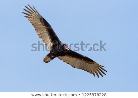Törökország dögkeselyű repülés tiszta égbolt természet madár Stock fotó © brm1949