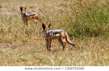 african wild dog standing and staring  in wild life safari park  Stock photo © compuinfoto