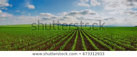 Young green corn in agricultural field Stock photo © stevanovicigor