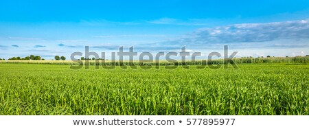 green wheat field and blue sky panorama stock photo © icefront