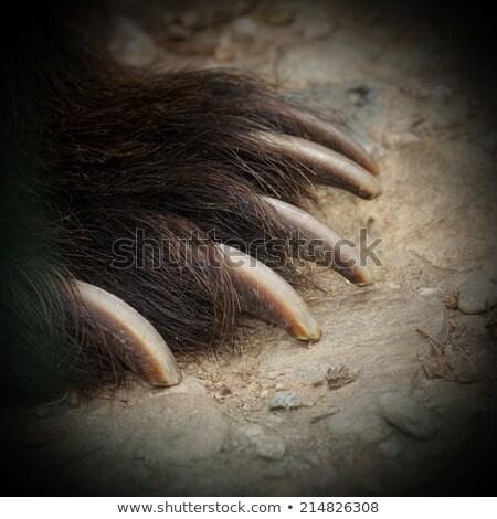 Barnamedve részlet arc medve állat veszély Stock fotó © taviphoto