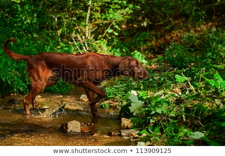 hunting dog with a catch in forest Stock photo © phbcz