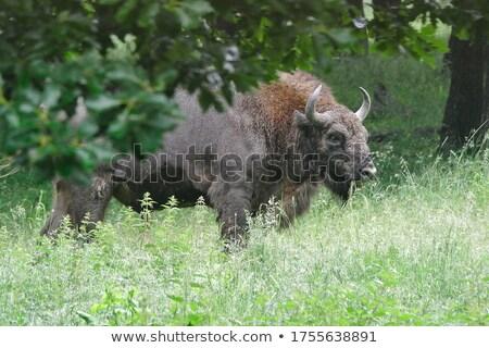 Wild bizon foto natuur amerika Stockfoto © Dermot68