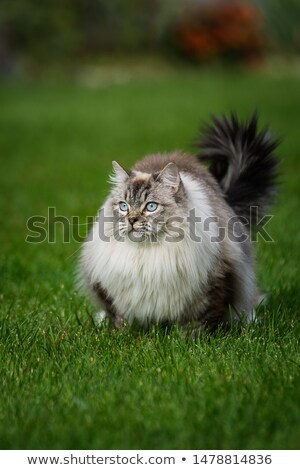cute · chat · herbe · lumineuses · yeux · bleus · sur - photo stock © silkenphotography