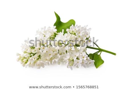 Ramo bianco erba verde fiore amore verde Foto d'archivio © olandsfokus