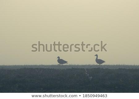goose family in fog stock photo © ivonnewierink