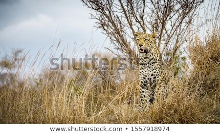 Leopard trawy parku Południowej Afryki zwierząt Zdjęcia stock © simoneeman