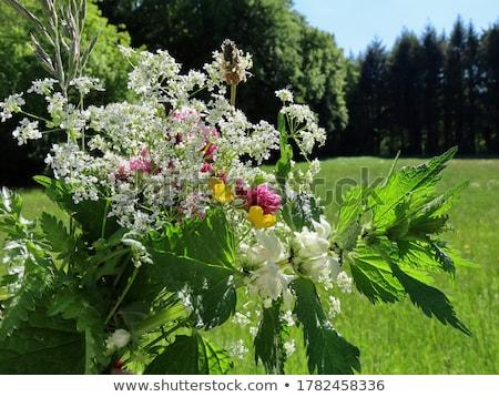 reina · encaje · campo · flor · hierba · negro - foto stock © aleishaknight