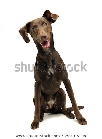 beautiful flying ears mixed breed dog listen in white studio stock photo © vauvau