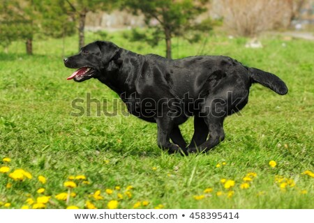 Black dog breed Labrador running fast  stock photo © goroshnikova