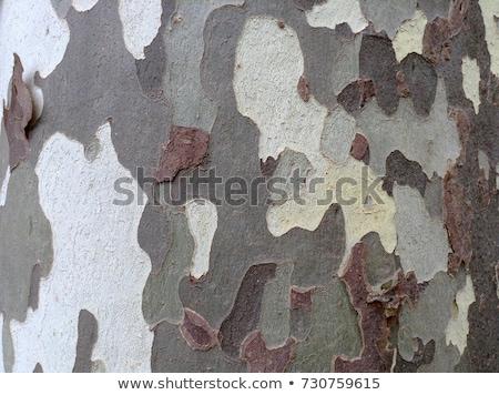 Bark of sycamore Stock photo © Estea