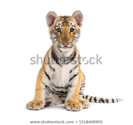 Wild tigers on white background Stock photo © bluering