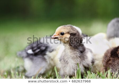 Chick baby gratis ander gemengd kuikens Stockfoto © StephanieFrey