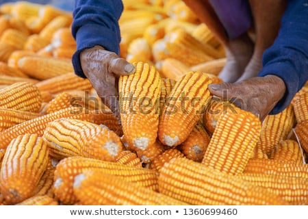 Farmer with harvest ready ripe corn maize cob in field Stock photo © stevanovicigor