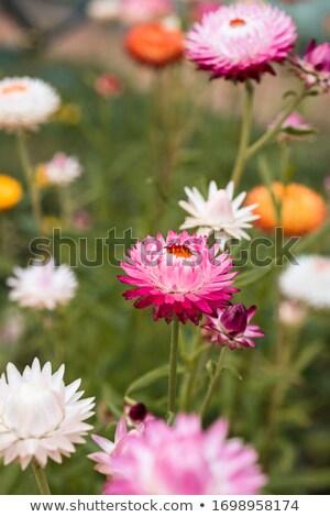 красочный · Ромашки · три · изолированный · белый · фон - Сток-фото © stephaniefrey