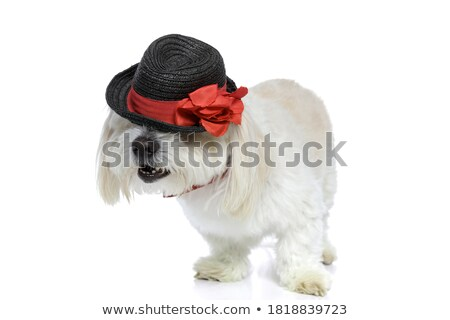 cute furry white bichon wearing a red bowtie standing Stock photo © feedough