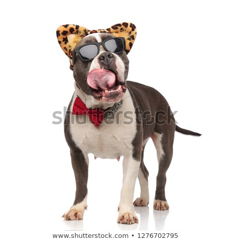 classy american bully with sunglasses and headband panting  Stock photo © feedough