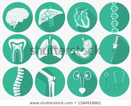anatómia · emberi · tüdő · illusztráció · háttér · felirat - stock fotó © andrei_