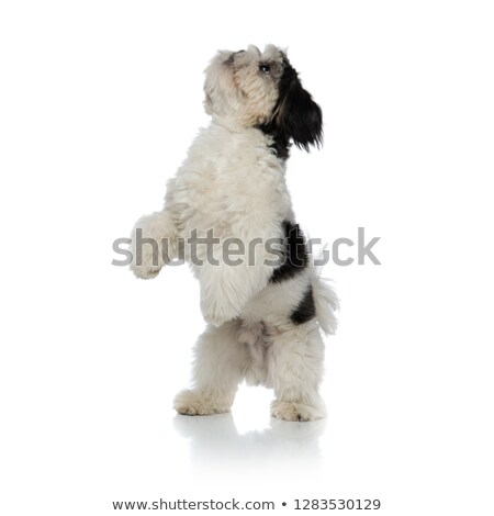 adorable shih tzu standing on two legs looks up Stock photo © feedough