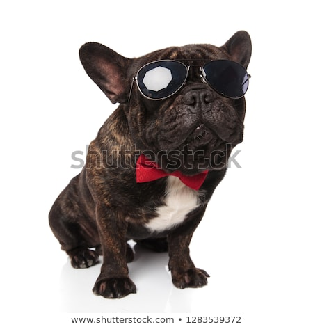 classy french bulldog wearing sunglasses and red bowtie sitting Stock photo © feedough