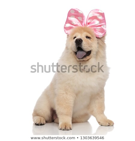 excited chow chow wearing pink ribbon looks up to side stock photo © feedough