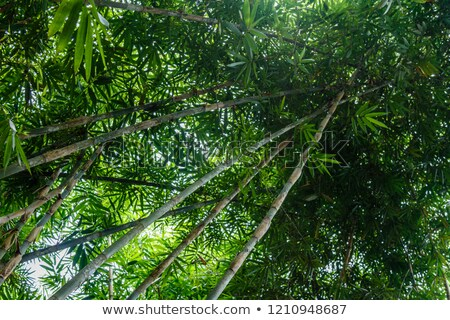 Bambus Wald schönen grünen natürlichen Stock foto © galitskaya