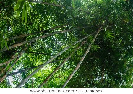 Bambusa lasu bali piękna zielone naturalnych Zdjęcia stock © galitskaya