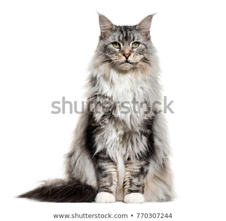 Maine kat kitten vergadering leggen geïsoleerd Stockfoto © CatchyImages