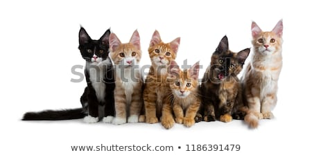 Row / group of six multi colored Maine Coon cat kittens isolated on white background  Stock photo © CatchyImages