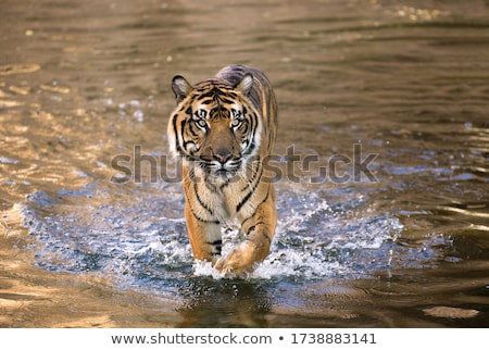 Tigre coucher du soleil scène illustration nature fond Photo stock © bluering