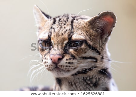 Margay, Leopardus wiedii, a rare South American cat Stock photo © artush