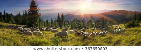 Blanche moutons troupeau aube belle orange Photo stock © taviphoto
