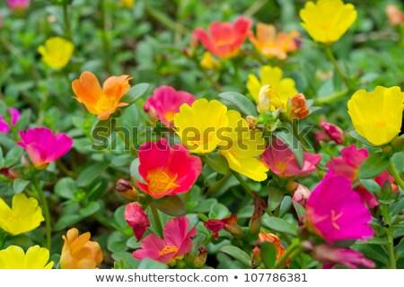 Moha rózsa fehér levél kert nyár Stock fotó © bdspn
