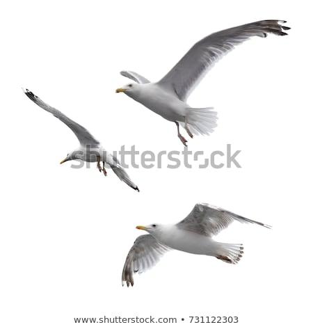 Big seagull in sky Stock photo © bloodua