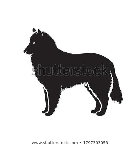 Belga juhászkutya portré gyönyörű fény reggel kutya Stock fotó © cynoclub