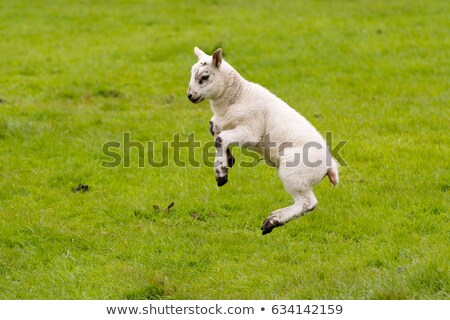 lamb leaping stock photo © rtimages