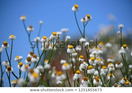 Australian yellow paper daisy with blue sky background Stock photo © byjenjen