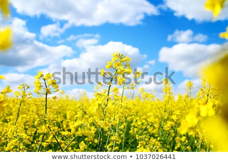 yellow field rapeseed in bloom with blue sky and white clouds stock photo © arcoss