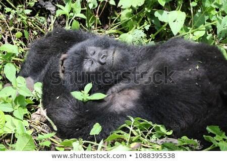 Gorilla erdő természet hegy fekete majom Stock fotó © mariephoto