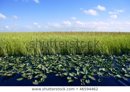 blue sky in florida everglades wetlands green plants horizon nature stock photo © lunamarina
