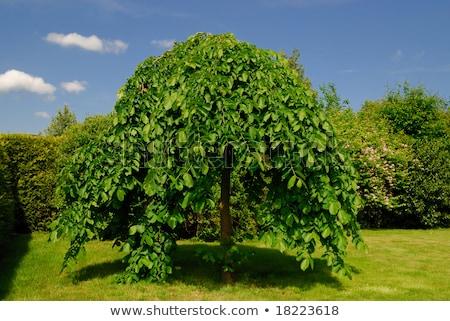 Weeping Beech Tree Stock photo © ArenaCreative