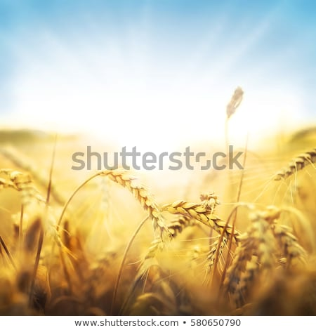 cereal spikes in the sun stock photo © italianestro