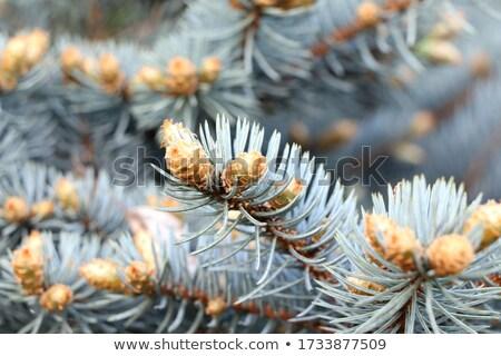 blue  fir tree Stock photo © neirfy