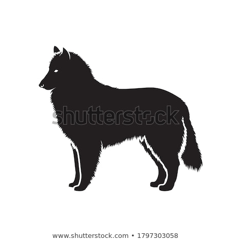 belgian shepherd Stock photo © cynoclub