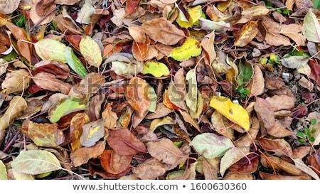 Fallen apples on leaves Stock photo © jenbray