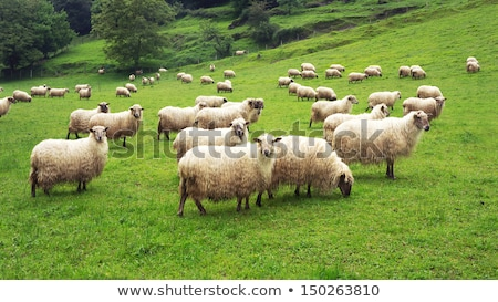 Spring pasture with flock of sheep and lambs  Stock photo © meinzahn